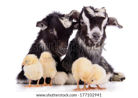 newborn goats and chickens. farm animals. Isolated on white background - stock photo