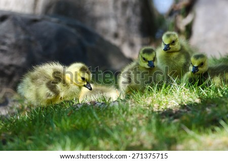 Newborn Gosling Looking Closely into the Grass - stock photo