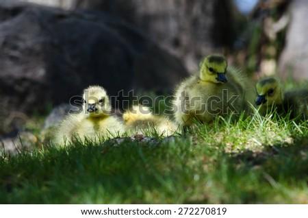 Newborn Gosling Resting in the Green Grass - stock photo