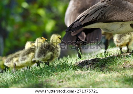 Newborn Goslings Chasing After Mom - stock photo