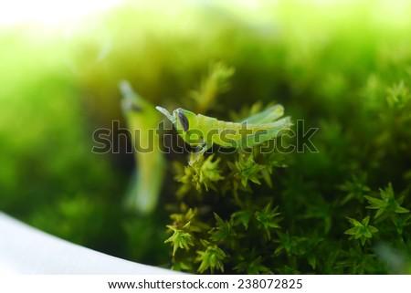 Newborn grasshopper - stock photo