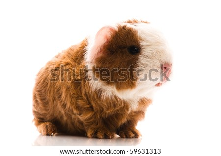 newborn guinea pig isolated on the white background - stock photo