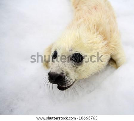 Newborn harp seal pup - stock photo