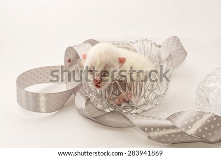 Newborn kitten in cristal bowl - stock photo