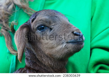Newborn lamb cuddles - stock photo
