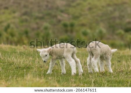newborn lambs exploring surroundings  - stock photo