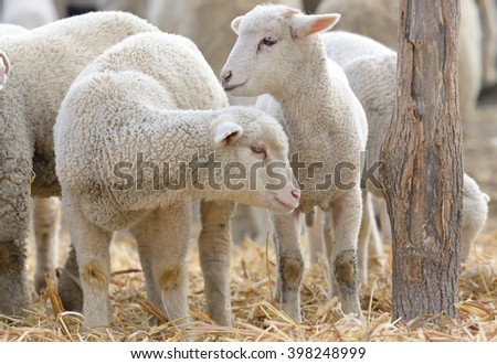 newborn lambs on the farm in spring time - stock photo