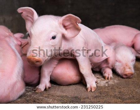 Newborn piglets  - stock photo