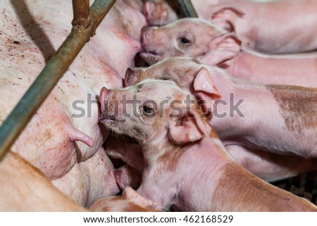 Newborn piglets are trying to suckle from its mother pig. Scramble for the newborn piglet suckling pig mother.