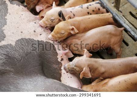 Newborn piglets suck the breasts of his mother - stock photo