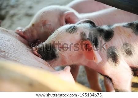 Newborn Pigs Feeding  - stock photo
