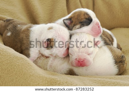 newborn puppies - english bulldog puppies in a pile -  one week old - stock photo