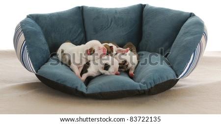newborn puppies - litter of four english bulldog puppies - four days old - stock photo