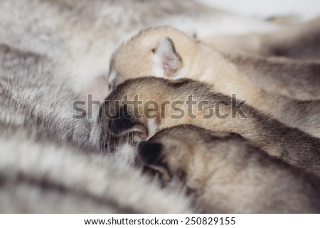 Newborn puppies Siberian Husky. Meals mother's milk.