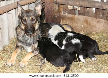 newborn puppies sucking milk from mother dog - stock photo