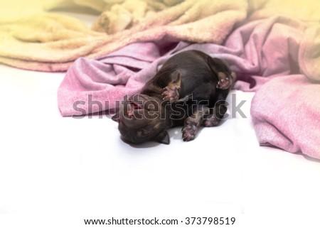 newborn puppy dog sleeping black labrador retriever - stock photo