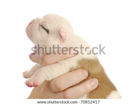 newborn puppy - english bulldog puppy - 2 weeks old - stock photo