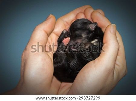 newborn puppy havanese in hand - stock photo