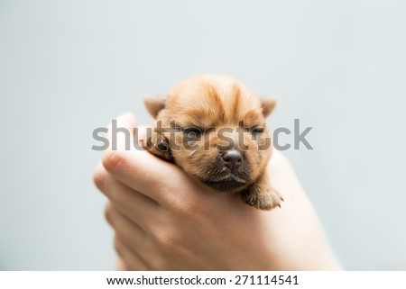 Newborn puppy Norfolk terrier in the caring female hands - stock photo