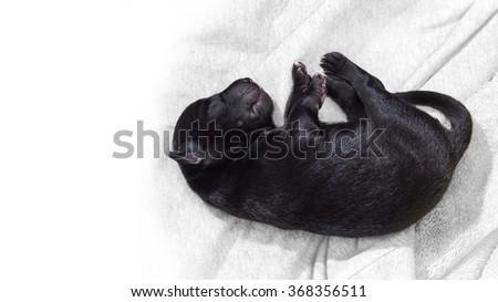 newborn puppy sleeping black labrador retriever - stock photo