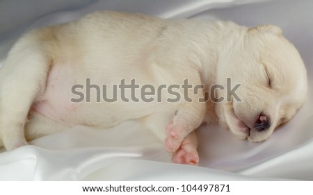 newborn puppy sleeps - stock photo
