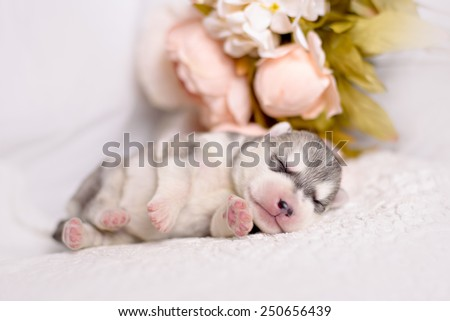 Newborn pups siberian husky with a vintage tone added - stock photo