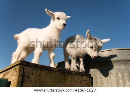 Newborn pygmy goats like to play and rest. - stock photo