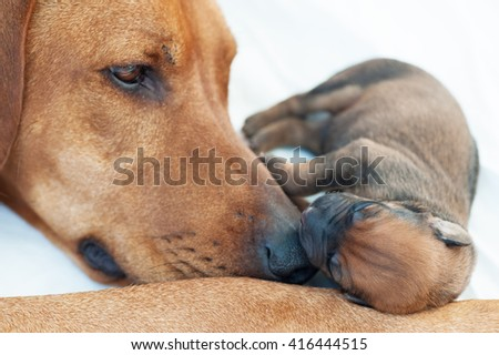 Newborn Rhodesian Ridgback whelp sleeping on mommies nose. It is a purebred South African hunting dog. It's remark is the ridge on the back with the fur growing in the opposite direction like normal. - stock photo
