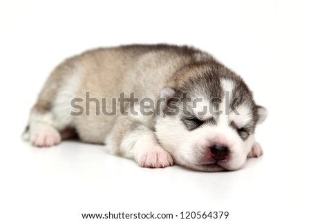 newborn Siberian Husky puppy, age of 12 days