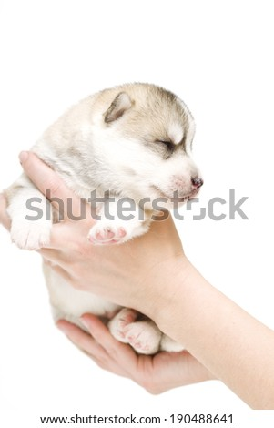Newborn Siberian Husky puppy, age of 14  days