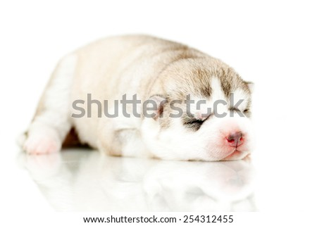 newborn Siberian Husky puppy, age of 7 days - stock photo