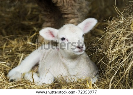 Newborn Spring Lamb laying in hay. - stock photo