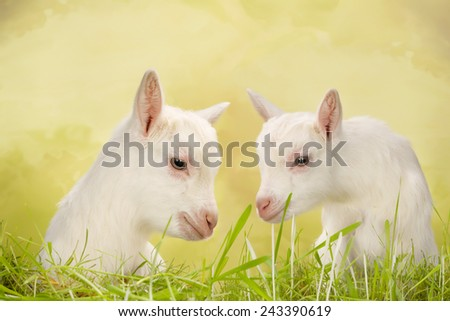 Newborn white baby milk goats in a meadow