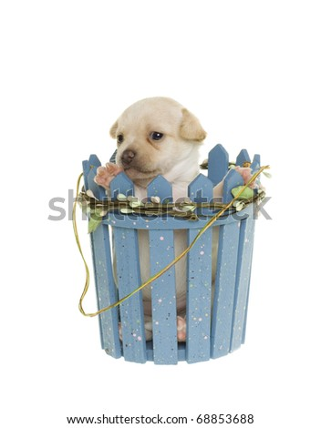Newborn white tiny Chihuahua Puppy Sitting behind and Surrounded by a blue picket fence that has paint splash decoration and fake leaves and twine wrapped around it.  white background, isolated,