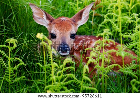 Newborn Whitetail Fawn Resting in Green Fern - stock photo