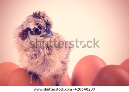 Newborn yellow and black chick with eggs. Toned