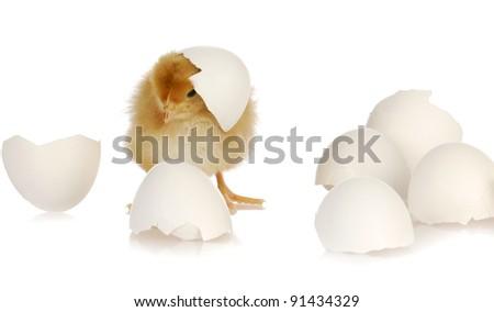newborn yellow baby chicken isolated on white background - stock photo