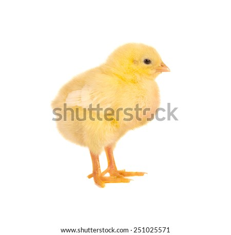 Newborn yellow easter chick on a white background - stock photo