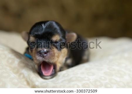 Newborn yorkie puppy - stock photo