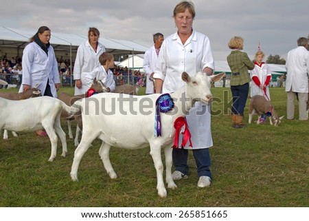NEWBURY, UK - SEPTEMBER 21: The Berks County Show champion goat entrant  is paraded around the main show arena during the grand cattle finale show on September 21, 2014 in Newbury - stock photo