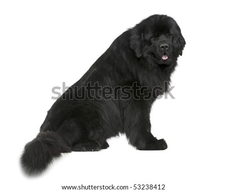 Newfoundland dog, 4 and a half years old, sitting in front of white background - stock photo