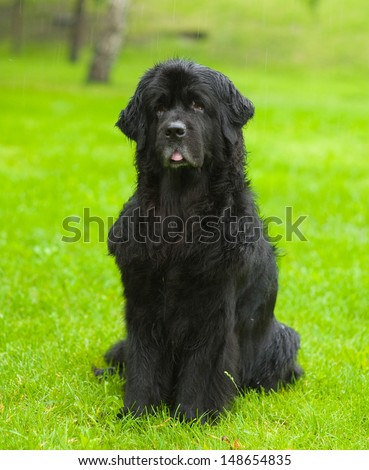 Newfoundland dog in front  - stock photo
