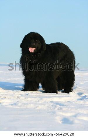 Newfoundland dog in winter - stock photo