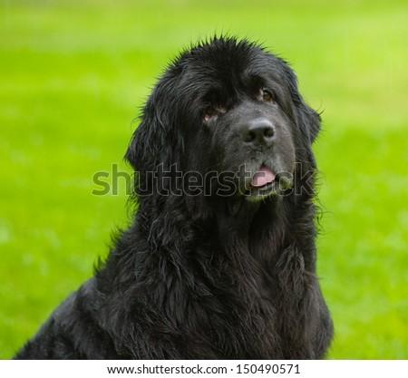 Newfoundland dog looking at camera - stock photo