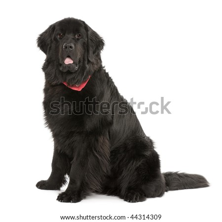 Newfoundland dog, 10 months old, in front of white background, studio shot - stock photo