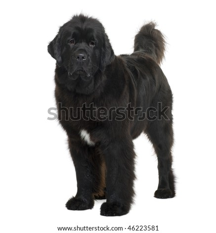 Newfoundland dog, 16 months old, standing in front of white background - stock photo