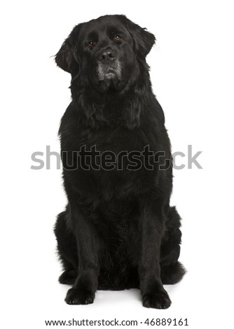 Newfoundland dog, 6 years old, sitting in front of white background - stock photo