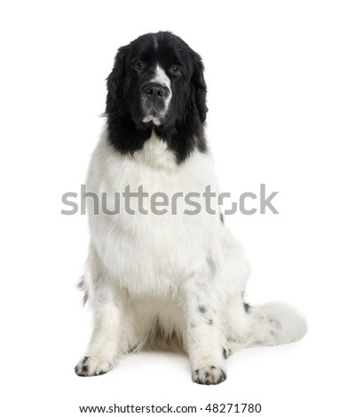 Newfoundland dog, 2 years old, sitting in front of white background - stock photo