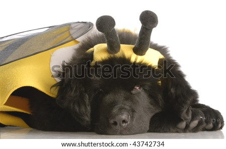 newfoundland puppy dressed up like a bee - twelve weeks old - stock photo
