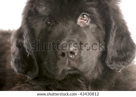 newfoundland puppy head shot - twelve weeks old - stock photo